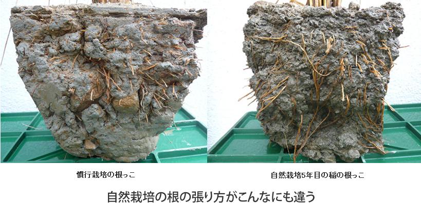 自然栽培は根の張り方が違う