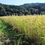 有機栽培の本質は良い-自然栽培米ササニシキ-