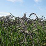 古代米緑玄米から作る【冨田自然栽培緑玄米もち】