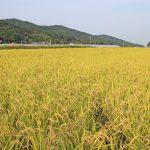 2016年度喜び米-自然栽培米ササニシキ収穫-