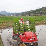 無農薬にこだわる自然栽培米ササニシキ田植え(大分県国東半島)