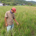 世界農業遺産の大分県国東半島での雨不足の影響を受けた自然栽培米ササニシキ・ササシグレ