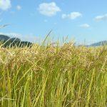 前田自然栽培ミナミニシキが生命力溢れるお米と言われている理由