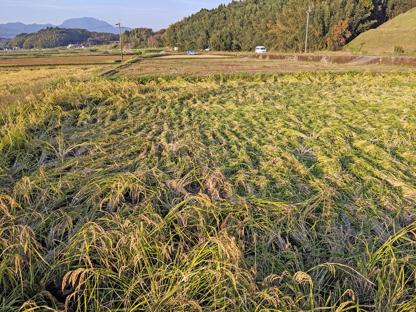 稲が倒れる
