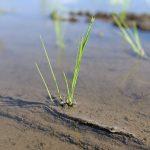 亀の尾・旭一号の無農薬栽培に挑戦|在来種の稲を自然栽培で育てる赤城さんの想い